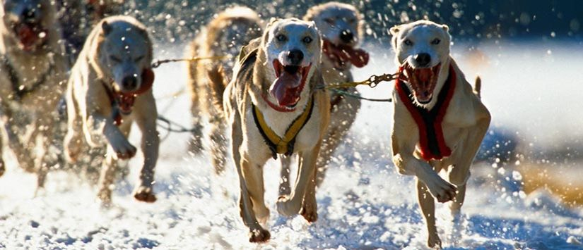 Close-up of dogs in dogsled race. Click to see more in the Outdoors Gallery