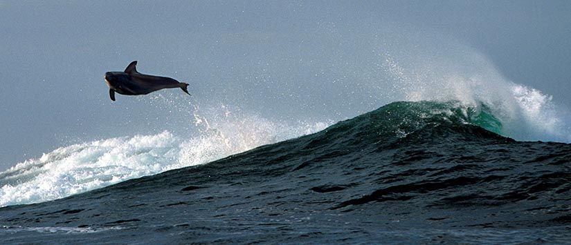 Dolphin playing in the waves of an Australian Surf Break. Click to see more in the Seascapes Gallery